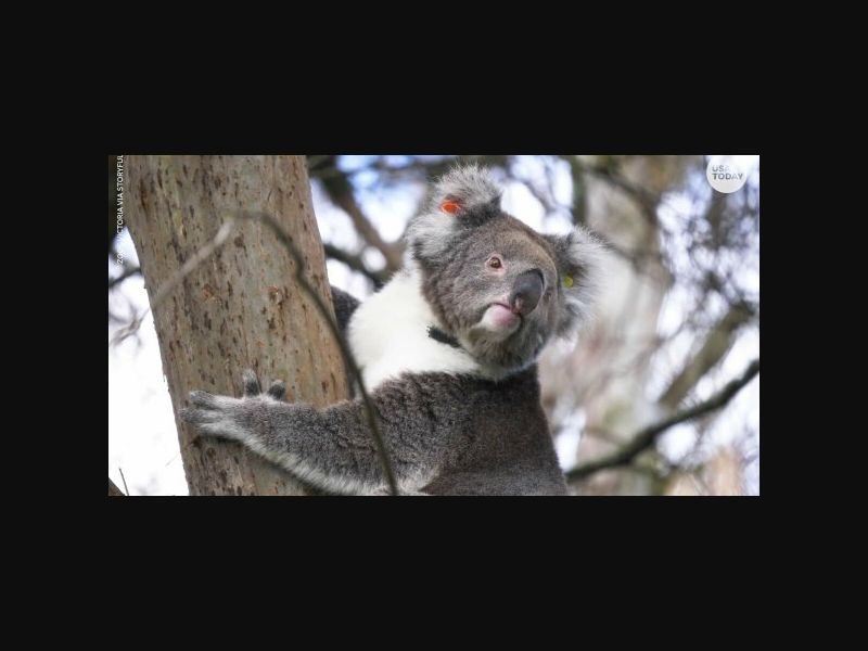 h24news_us: Over half of some koala populations have chlamydia, which can severely affect the species' already declining population